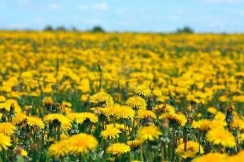 Цветы одуванчика: лечебные свойства, возможный