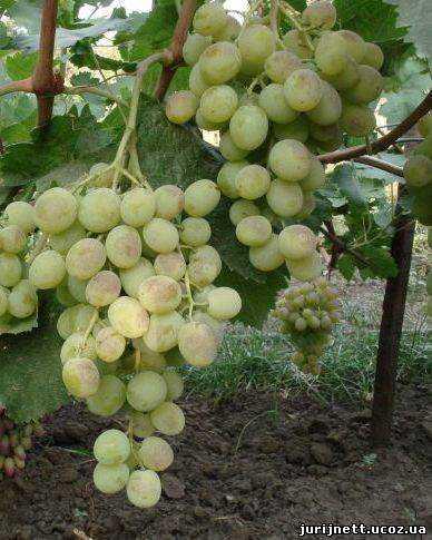 Особенности сорта винограда Талисман: