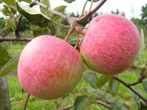 Особенности яблок Слава победителям: фото,