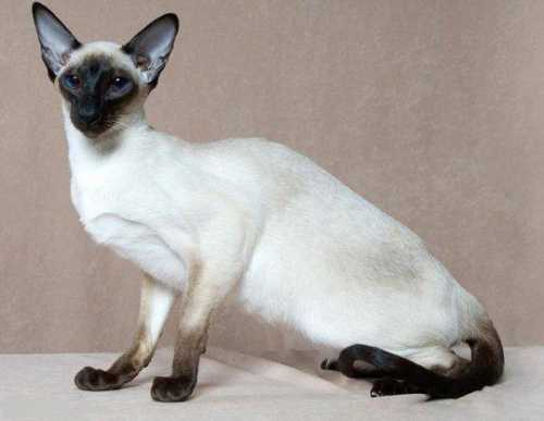 Сиамский кот: особенности характера животного