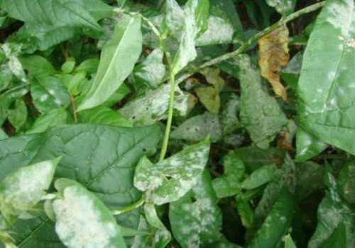 Онито и остаются зимовать на опавших пораженных листьях, ягодах и необрезанных побегах