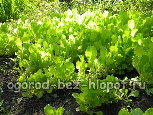 Как вырастить салат, выбираем семена,