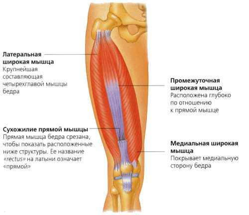 Болит мышца бедра