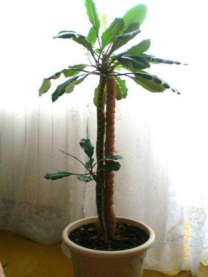 Домашняя пальма: выращивание, уход, фото,