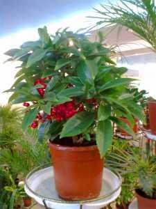 Но зимой, когда она находится в покое, следует держать растение при температуре градусов