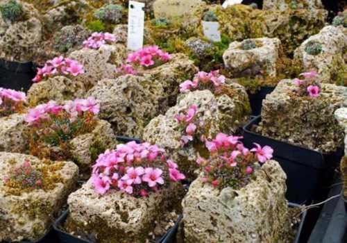 Если не предполагается выращивать камнеломку на улице, то укоренившиеся черенки пересаживают по отдельным горшкам