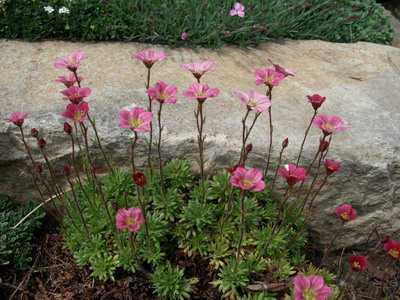 При размножении с помощью отводок, время подгадывается после цветения разрывтравы