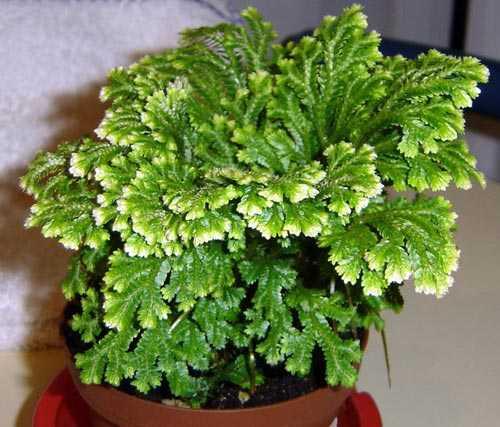 Обладает свойствами натурального освежителя, являясь источником аромата степных трав и пустыни
